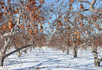 Cueillette de #pommes gelées aux Vergers Lafrance