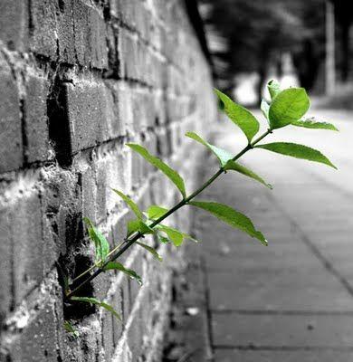 Gosto de andar por ai olhando coisas que talvez para outros não chame atenção. Por exemplo, as plantinhas que lutam por existir entre as fendas dos muros…você já reparou nelas? São plantinhas inexpressivas, não dão flores, não dão sombra, apenas querem viver… E os muros…são muros antigos, onde o tempo fez seu trabalho, criando fendas, brechas para que outras pequenas criaturas pudessem habitar. Então, eis que a vida faz seu laborioso trabalho de criação, e uma semente cai por descuido na…