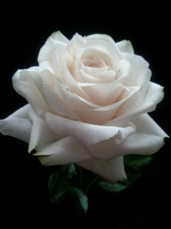 How To Make Sugar Paste Peony Rose Cake Decorations
