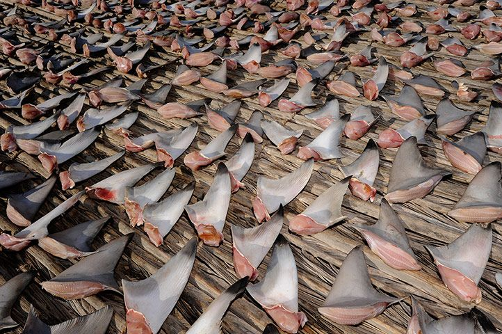 Credit: Thomas P. Peschak/Thomas P. Peschak Shark fins are in great demand for shark fin soup, one of the world's priciest seafood dishes.