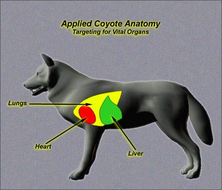 Coyote anatomy and other information about coyote predator culling.