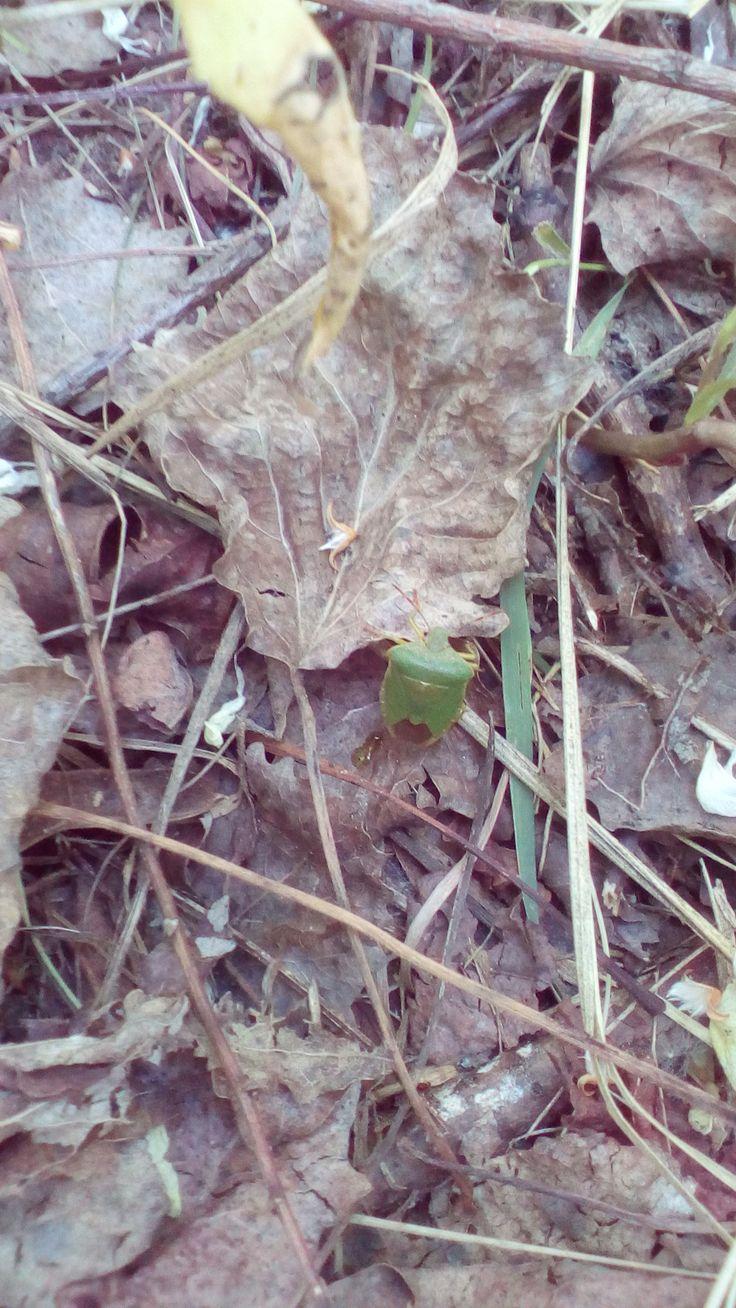 Kněžice trávozelená (Palomena prasina) u Hliníka