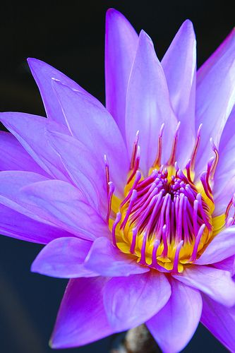 best lotus flowers  water llilies images on, Natural flower