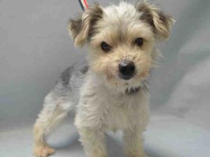 SUPER URGENT Brooklyn center GINGER – A1093261 FEMALE, GRAY / WHITE, YORKSHIRE TERR / MALTESE, 10 yrs OWNER SUR – EVALUATE, NO HOLD Reason LLORDPRIVA Intake condition EXAM REQ Intake Date 10/12/2016, From OUT OF NYC, DueOut Date 10/12/2016