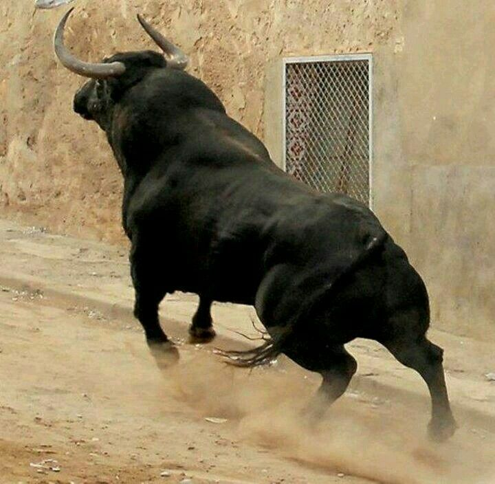 A lot of beauty, strength and bravery: the bull, in danger of extinction!