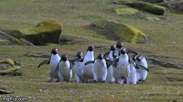 Can I just take a second to appreciate these penguins bouncing after a butterfly?