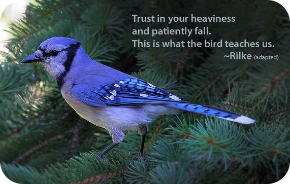 "Animal Symbolism of the Blue Jay. ""Trust in your heaviness and patiently fall. This is what the bird teaches us."" - Rilke (adapted)"
