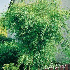 Immergrüner Bambus / Schirmbambus /Chinarohrgras
