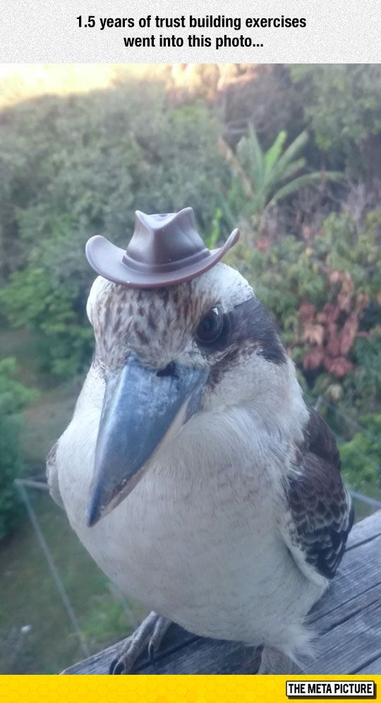 """Kookaburra sits in the old gum tree, pondering """"What's this nut doing to me?"""""""