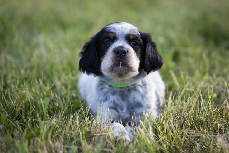 Lo is like my girl, Abby. Photo for the Llewellin Setter Puppy Calendar
