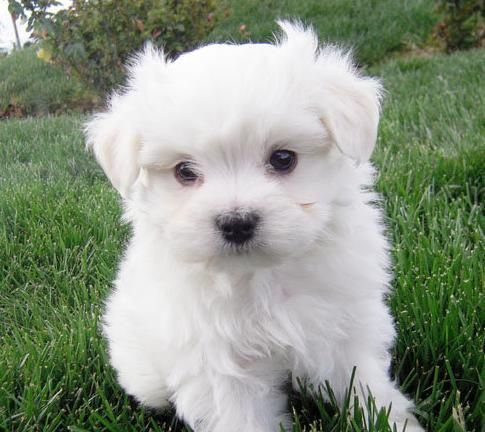 Image detail for -12 Weeks Old Maltese Puppies Singapore Animals | Celebrity Inspired ...