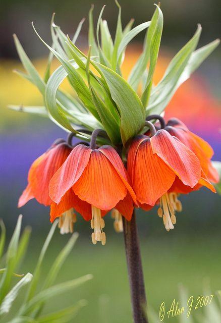 Fritillaria Crown Imperial | Flickr - Photo Sharing!