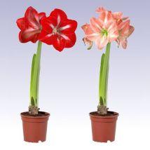 Hölgyliliom rózsaszín, Amaryllis 30 cm magas 12cs