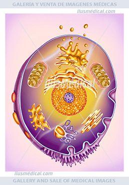 Imagen de una célula y los diferentes elementos que lo componen. La célula es una estructura constituida por ....