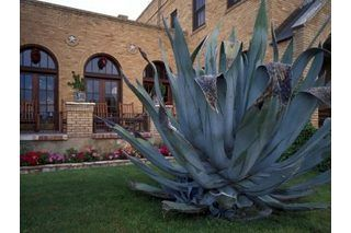 How to Care for a Blue Agave Plant (with Pictures)
