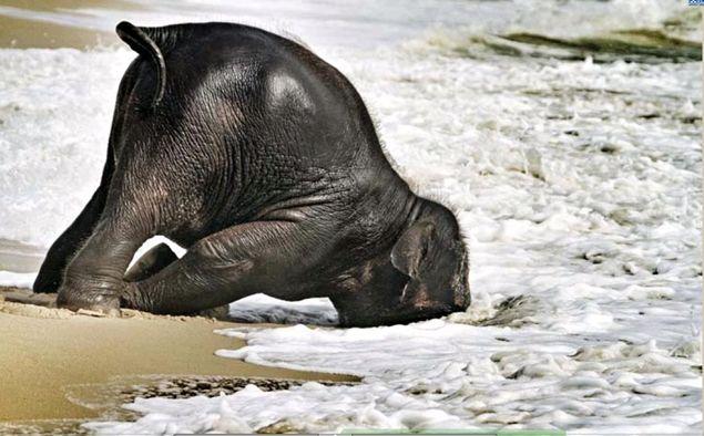 Baby Elephant playing on the beach, Bangtao Beach, Phuket ...