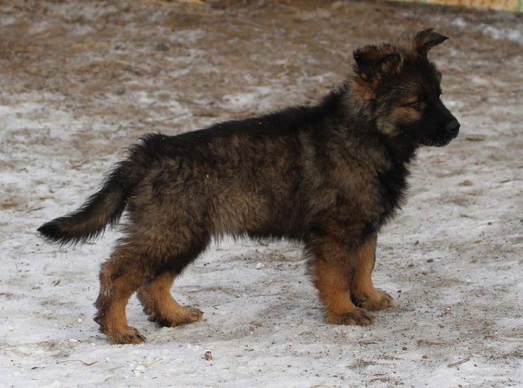 Long hair DDR German shepherd puppy