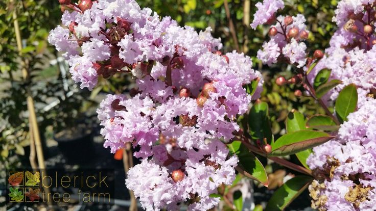 Lagerstroemia fauriei x indica – Yuma Crepe Myrtle – Purchase Bare Rooted Trees Online
