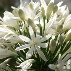 "Rocket Gardens - ""Agapanthus Africanus 'Giant White' - Ornamental Plants > Perennials"