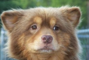 Monkey is an adoptable Chow Chow Dog in West Columbia, SC. Monkey is a male, chow mix. His estimated age is about 7 years old. Monkey weighs about 25 lbs.  •803-394-7470  Visit our site at http://www.heartwormproject.org/application and complete an application today! Our adoption fee is $150.00