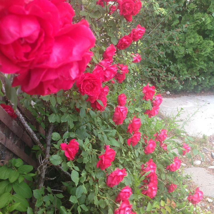 Karen Lee Edwards Studio®; Karen Lee Edwards; Roses 005©; 2015