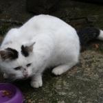Omgeving Brakel werd in december deze witte kater gevonden. De staart is bijna helemaal zwart (enkel puntje niet), en ook heeft hij 2 zwarte vlekken aan de oren en eentje aan de voorpoot. Het is een heel lief en aanhankelijk dier, en volgens zijn gedrag is het echt een binnenhuiskat. De poes verblijft momenteel bij de vinder: Marlyn - 0496/02 31 77 - marlynvdb@yahoo.com http://www.hetdierenthuisje.be/verloren-en-gevonden