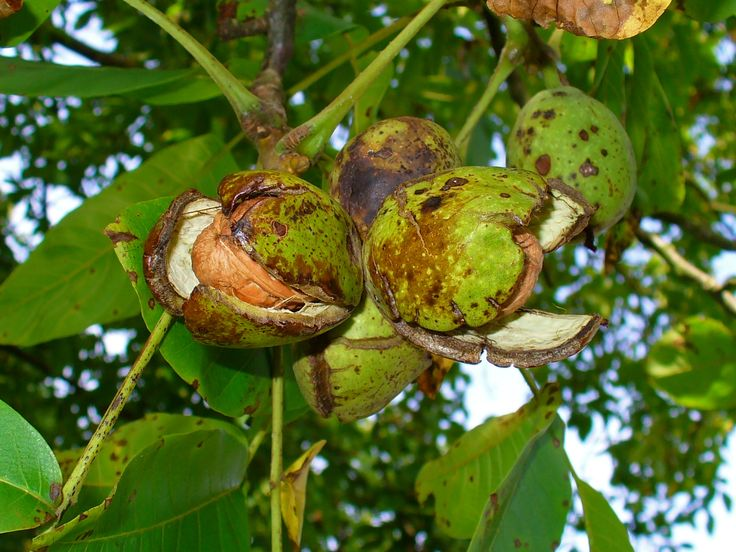 Walnut (Juglans spp.) : Eastern Black Walnut (Juglans nigra)