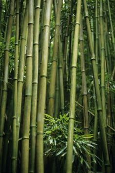 Clumping bamboos are naturally rapid growers, making them excellent choices if you're impatient for a new, exotic addition to your garden or an evergreen privacy hedge. For instance, timber ...