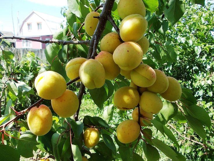 Dream Apricot meaning. Dream Apricot interpretation. Apricot dream book