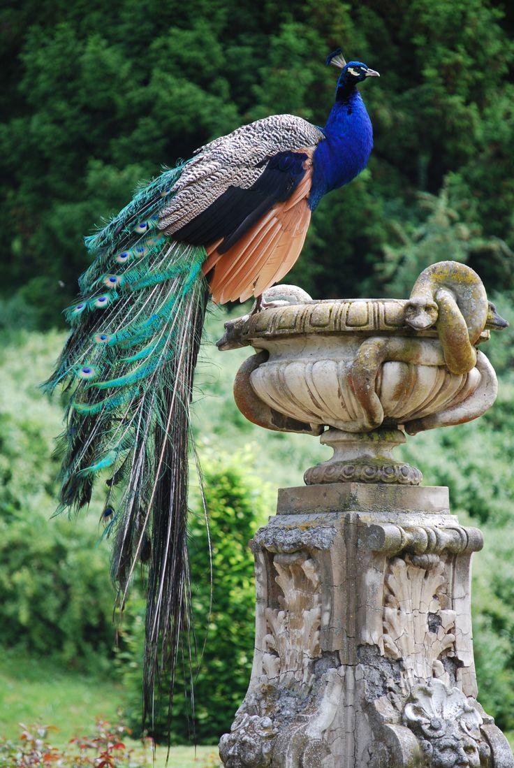 A Peacock In The Garden of Konopiste II.