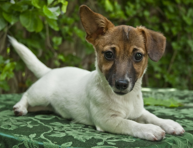 "Didn't know they ""made"" Irish Jack Russells! Wonder if they bark with an Irish brogue . . ."