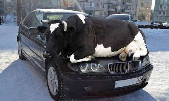 """""""Remember as days get colder animals are attracted to the warmth of cars so check wheel arches or other hiding places """" Could say it was a misSteak to park there, they should have mooed on. OK, we promise not to udder another comment :-D"""