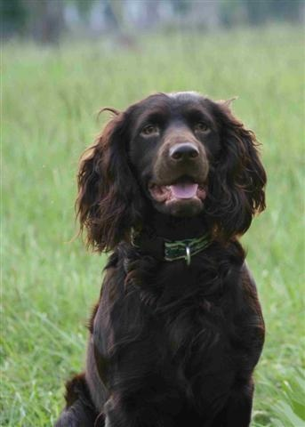 Boykin Spaniel...Not quite as pretty as Magnolia Dale but still love ;)