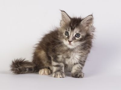 котенок мейн кун Greza Estate Pearls фото 5 недели