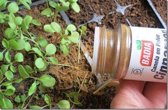 La canela, no sólo es excelente para los usos culinarios y para la salud del ser humano, sino que es magnifica para tratar distintos problemas de jardinería