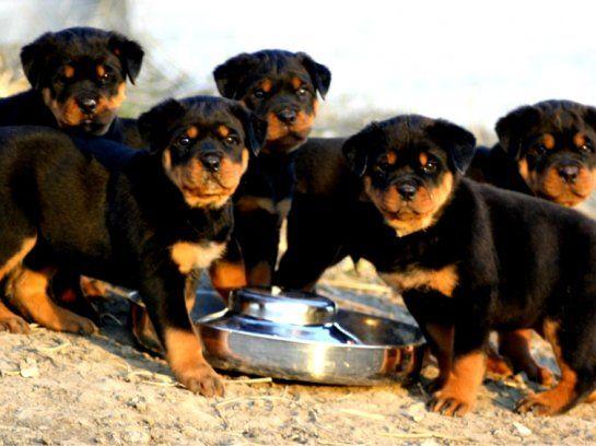 rottweiler dogs photo