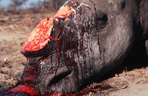 Rhino murdered for Chinese medicine (c) WWF Rhino horn is not medicine. Rhinos are being killed because of the continued use of rhino horn in traditional Chinese medicine — and recent rumors that rhino horn can cure everything from hangovers to cancer — despite the fact rhino horn has no medicinal value.