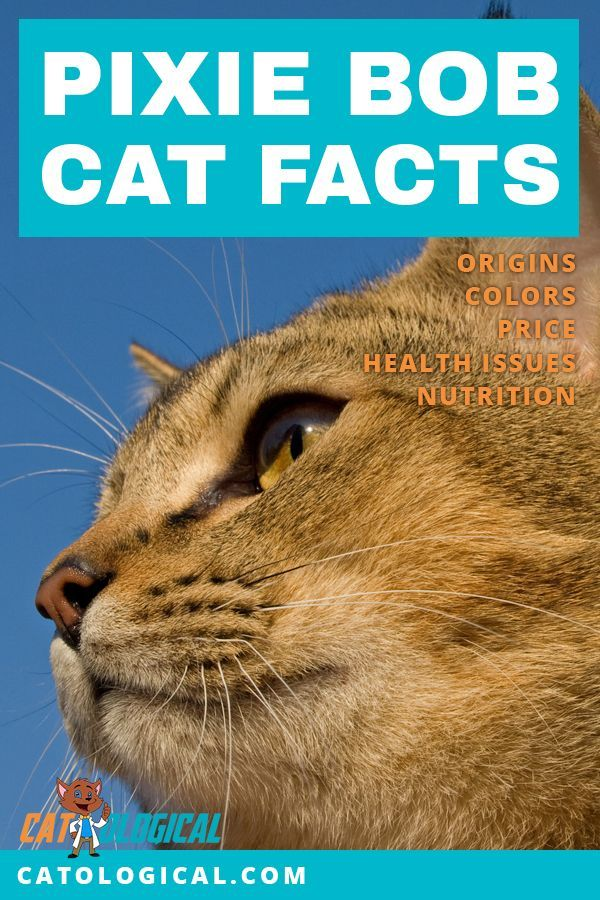 Pixie Bob Cat Facts Colors Health Issues Nutrition And More Vital Info Pixie Bob Cats Cat Facts Cats