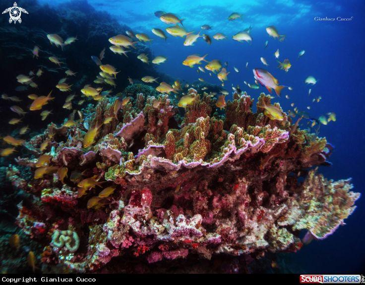 Coral Reef in Moalboal -  Cebu - Philippines