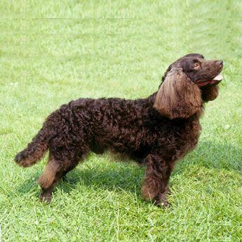 American Water Spaniel - Medium Dog Breed Profile
