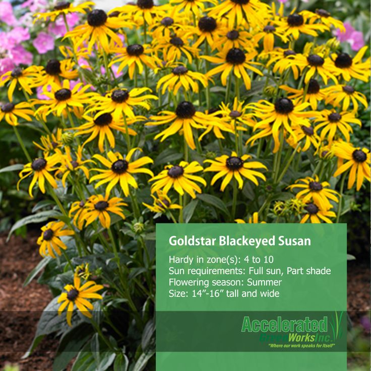 Little Goldstar Black Eyed Susan