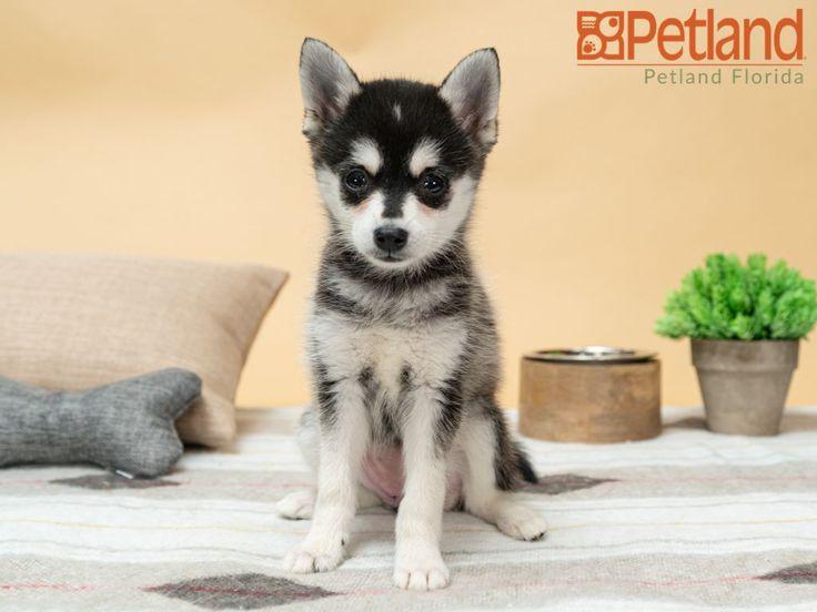 Alaskan Klee Kai Puppies For Sale Florida References