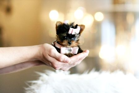 teacup yorkie, i want one so bad!!
