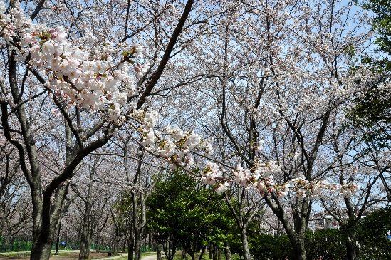 [필까 질까 노심초사 벚꽃축제...이번엔 '딱이야'] 제주왕벚꽃축제 6~8일 종합경기장서...개화시기와 타이밍 절묘