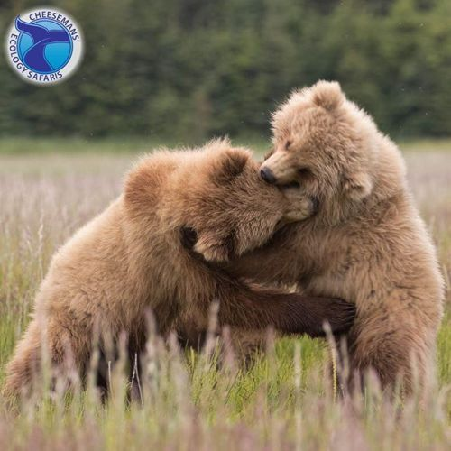 Experience Alaskas wildlife and scenery while traversing across the arctic plains Denali National Park flight-seeing Denali Mountain and the Brooks Range and cruising Prince William Sound. Highlights include three days at Lake Clark National Park for exceptional close-ups with brown bears. Travel with a small group in a van customized for easy photography. Twenty-one packed days in June 2018. Link in bio at @cheesemansecologysafaris    #sp #ad #travel #adventure #photographytours…
