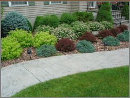House foundation shrub plantings of barberry, spirea, blue spruce and boxwood make up this picture