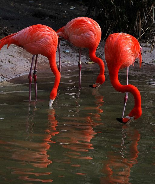 Beautiful Three Red Flamingos