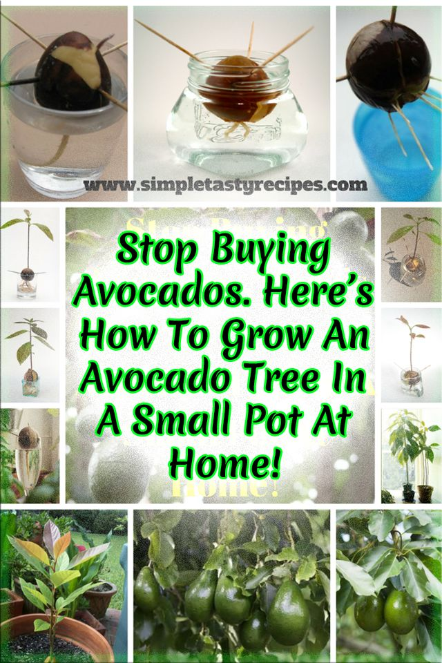 find this pin and more on gardening - Growing Avocado Trees