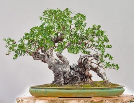 Bonzai halinde sakız ağacı
