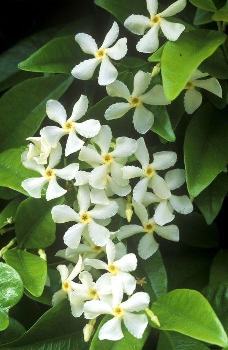 Trachelospermum AGM Collection, jasminoides & asiaticum